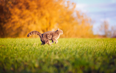 beautiful striped cat fun and deftly running through the green summer meadow gracefully arching his back and tail
