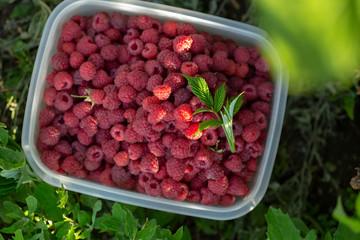 Fresh raspberry in garden
