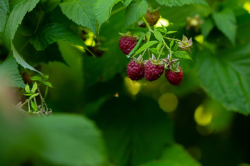 Fresh raspberry growing on branch
