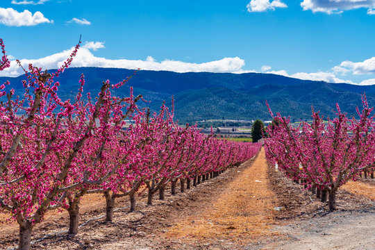Orchards in bloom. A blossoming of fruit trees in Cieza, Murcia Spain