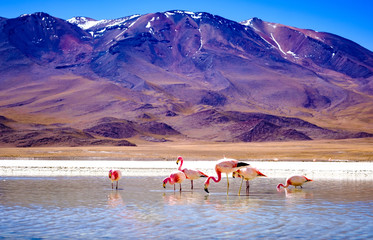 Beautiful flamingos at sunshine lagoon in mountanious Bolivia