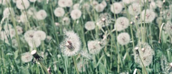 Dandelion on natural background. Dandelion flower on summer meadow