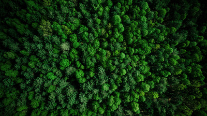 Drone view over green pine forest at summer