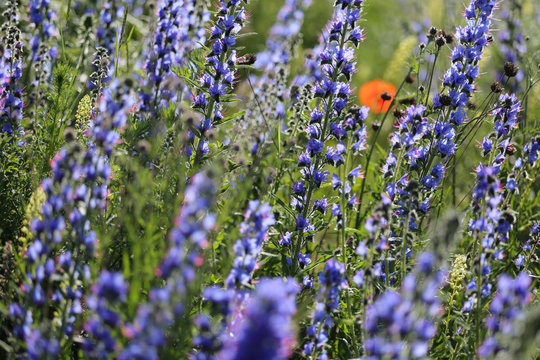 Beautiful wild flowers, Gotland Sweden.