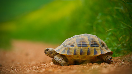 Photo sur Aluminium Tortue red soil and green grass; baby turtle