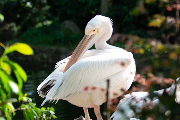 Pelican using its beak to preen its feathers in the sun