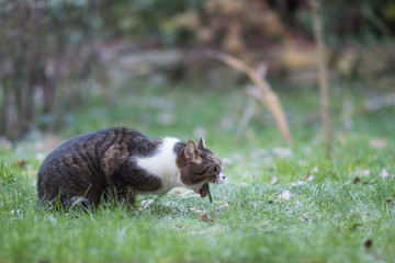 Tuinposter Kat side view of a tabby white british shorthair cat vomit in back yard on lawn