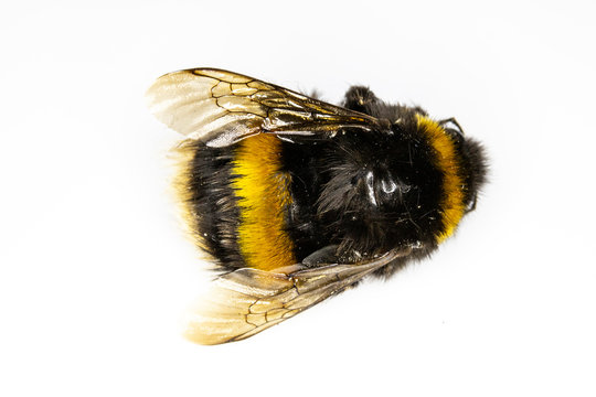 Dead Bumblebee Bee on White Background
