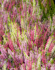 Germany, Munich.  Bunches of heather at flower market