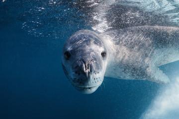 Leopard seal underwater in Antarctica Wall mural