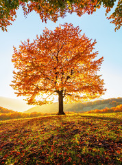 Photo sur Toile Orange eclat On the lawn covered with leaves at the high mountains there is a lonely nice lush strong tree and the sun rays lights through the branches with the background of blue sky. Beautiful autumn scenery.