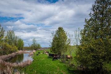 cows near a river
