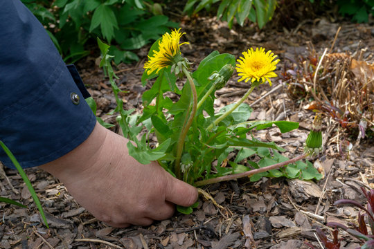 Female Hands Pull Out Weeds From Ground Garden. Weeding Weeds. Struggle Weeds Close Up.