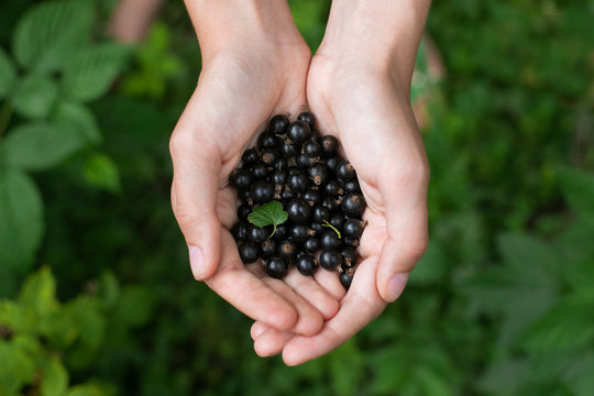 Woman's cupped hands holding blueberries
