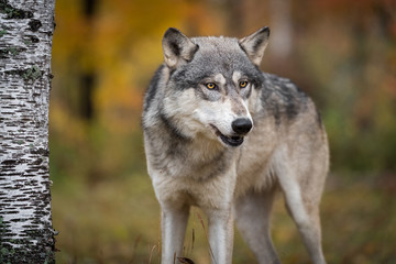 Fototapete - Grey Wolf (Canis lupus) Looks Out by Tree Autumn
