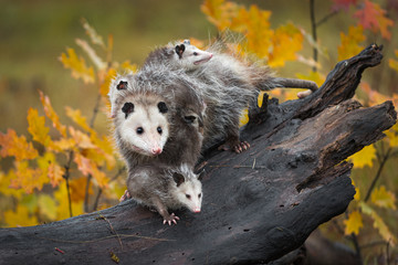 Fototapete - Opossum (Didelphimorphia) Stands With Joeys at End of Log Autumn