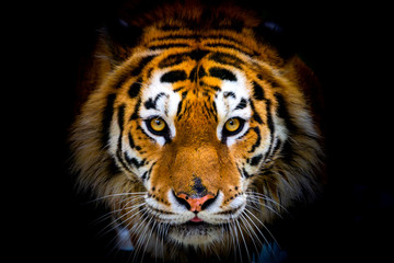 Poster de jardin Tigre Siberian tiger, Panthera tigris altaica, also known as the Amur tiger