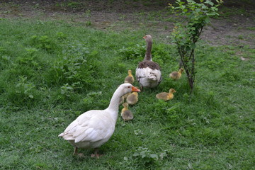 village life and landscape animal pictures high quality goose pictures