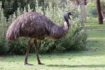 Poster Autruche emu