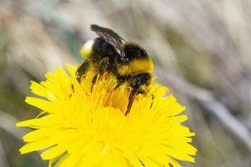 Bumblebee in Dandelion Flower