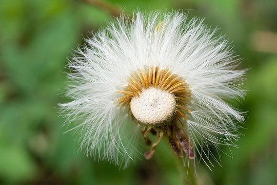 Tussilago farfara seeds