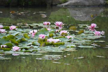 Poster de jardin Nénuphars 庭園の池で淡いピンク色の花を咲かせているスイレン