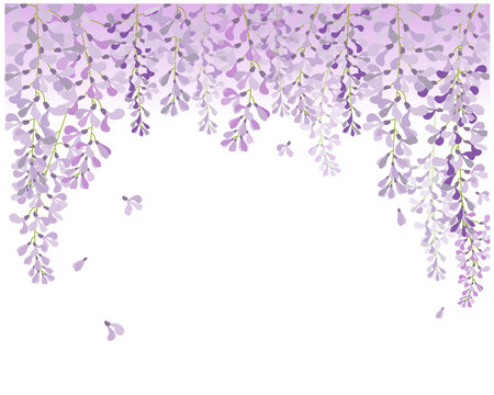 wisteria flower , beautiful flower with purple white and pink