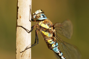 macro of male migrant hawker, aeshna mixta