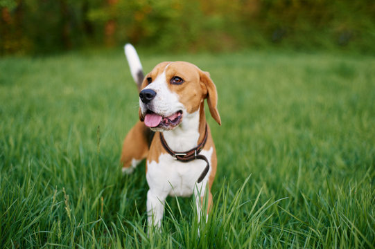 the beagle stands in the grass with his tongue sticking out. Breed dog portrait. Dog on the walk in the park