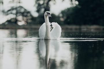 In de dag Zwaan white swan on the lake