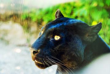 Poster Panther black Panther