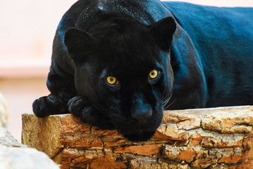 Wall Mural - black Panther