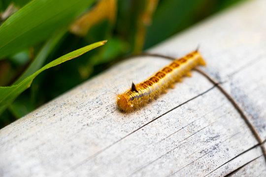 Caterpillar of moths crawling on bamboo