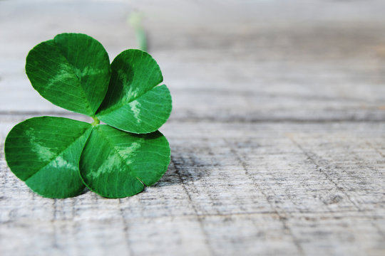 authentic shamrock four leaf clover on gray wooden background