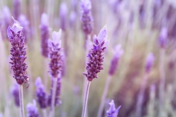 Detail of lavender purple flowers