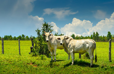 Countryside of Minas Gerais  .  Nerole ,cattle  in farm in Brazil.
