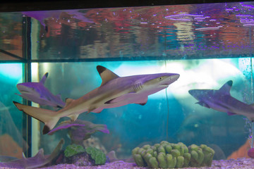 Wall Mural - Blacktip reef shark (Carcharhinus melanopterus) swimming in aquarium