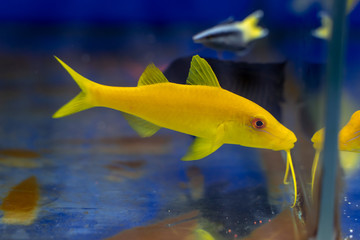 Wall Mural - Yellow Goatfish (Parupeneus cyclostoma) swimming to something to eat