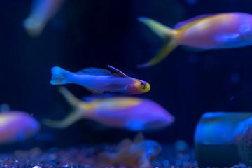 Fototapete - Helfrich's Dartfish or Helfrich's Firefish (Nemateleotris helfrichi) ornamental marine fish from Marshall Island