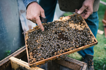 Beekeper is working with honeycombs which is completely covered by bees. Detail on apiarist´s hands.