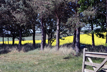 Trees lined up with a rapeseed field in the background.