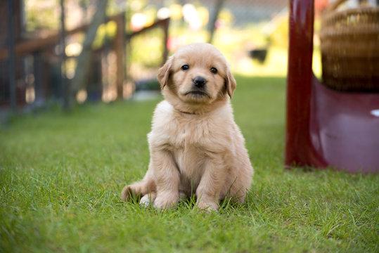 cute puppy dog lover hundewelpen hoverwart blond tierbabys haustier hund vierbeiner welpe wachhund familienhund kind schwarz dunkel pfoten tapsig outdoor tierportrait