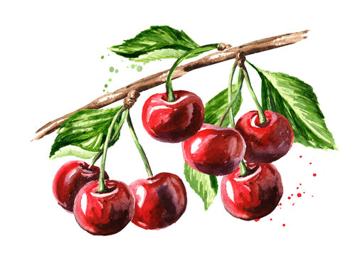 Cherry. Ripe cherries on the branch watercolor hand drawn illustration isolated on white background
