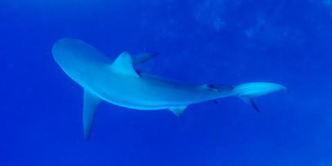 Grey Reef Shark (Carcharhinus amblyrhynchos) under water, Tarpon Cayes, Belize Barrier Reef, Lighthouse Reef, Belize