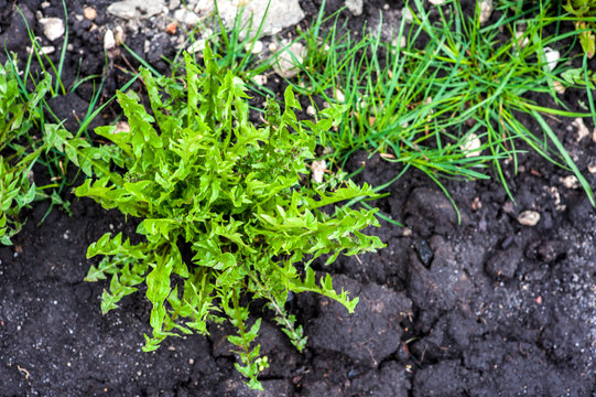 Green weeds in black dug earth