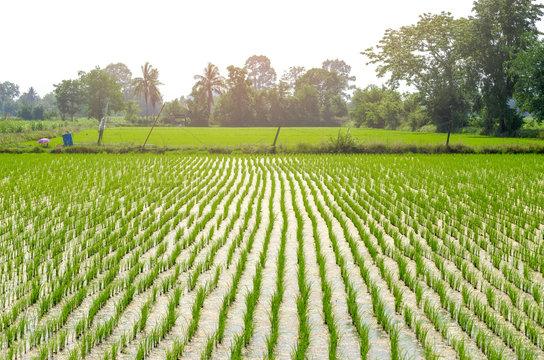 Rice farming of farmers in the provinces countryside of Thailand