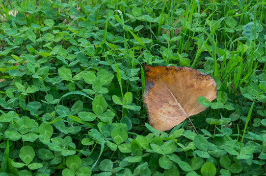 Brown leaf on green four-leaf clovers
