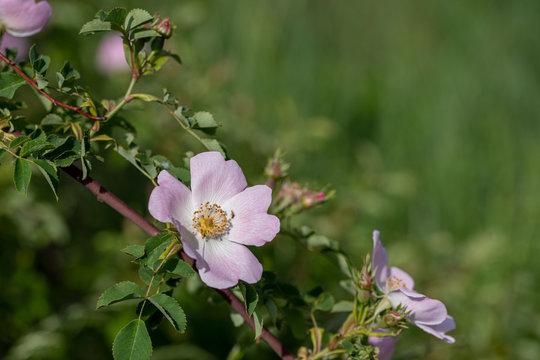 Beautiful blooming pink wild rose bush (dog rose, Rosa canina)