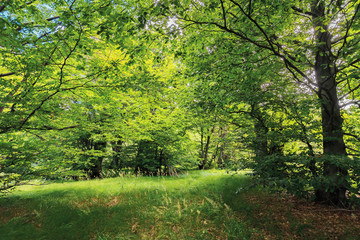 inside the beech forest on a sunny summer day. trees in lush green foliage. beautiful nature background