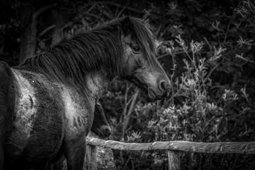 bonito cavalo preto e branco selvagem em perfil